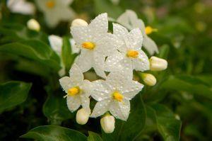 Jasmine Flowers Informazioni