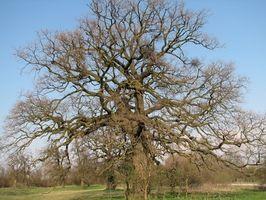 Insetti che gli alberi di quercia Uccidere