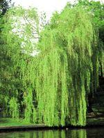 Come potare gli alberi di salice piangente