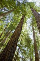Cura e manutenzione di un Bonsai Alba Redwood