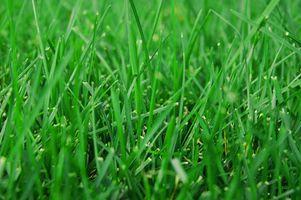 Quali sono i diversi tipi di Sod Grass?