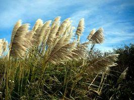 Southern ornamentali Grass