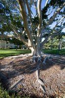 Solfato di rame per rimuovere radici dell'albero