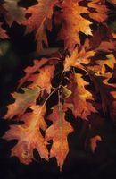 Perché le foglie di quercia presa su più di altri foglie in autunno?