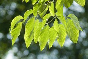 Perché i cornioli albero foglie Curl?