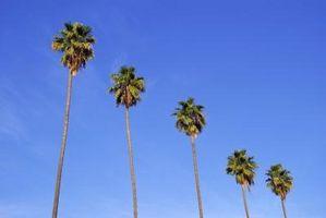 Può tagliare la parte superiore di un albero di palma?
