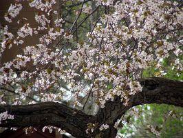 Foglie arricciati su Cherry Tree Lapin