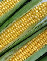 La germinazione dei semi di mais