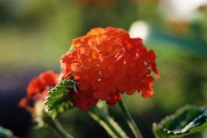 Fiori di pianta con Lantana